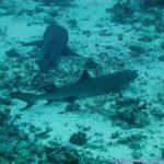 サメの仲間