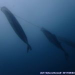 海中鯉のぼり