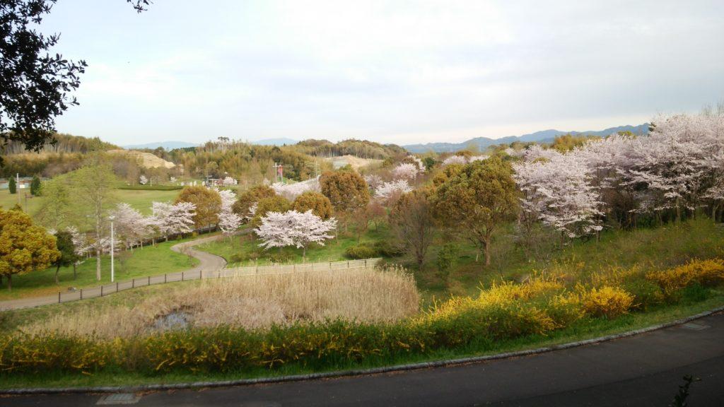 府営公園の桜