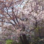 桜も散ってきた