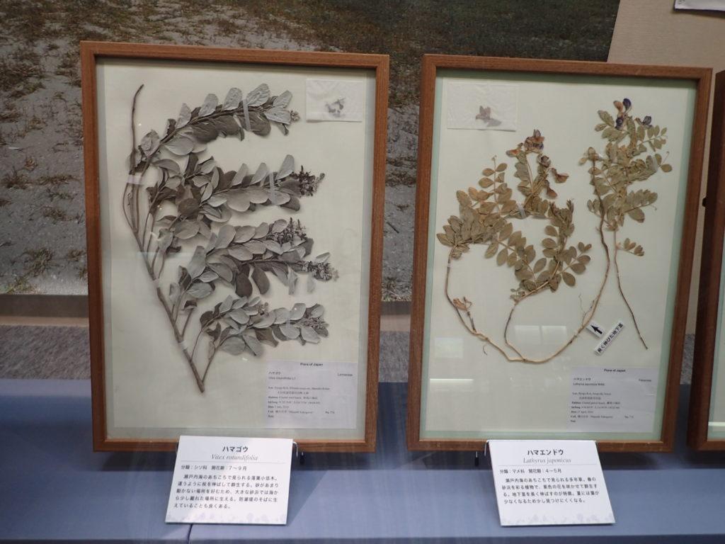 海浜植物標本
