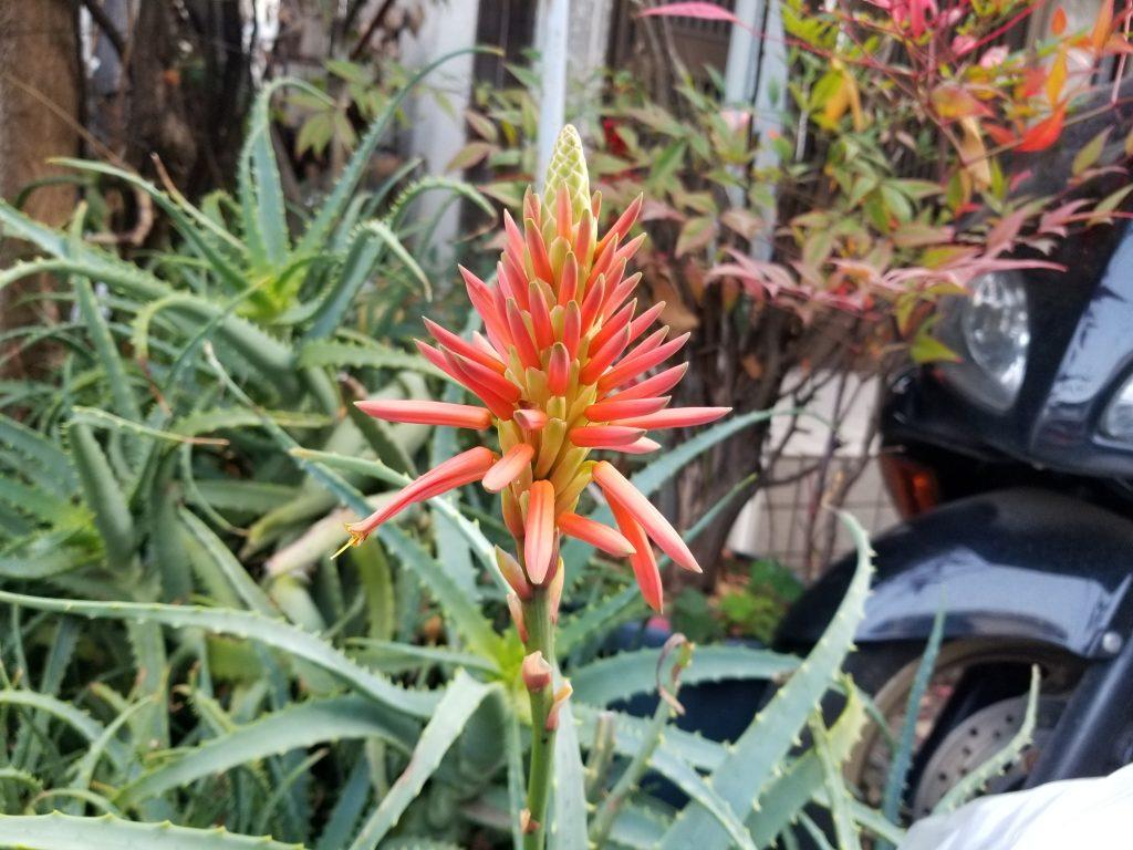 アロエの花_20200205