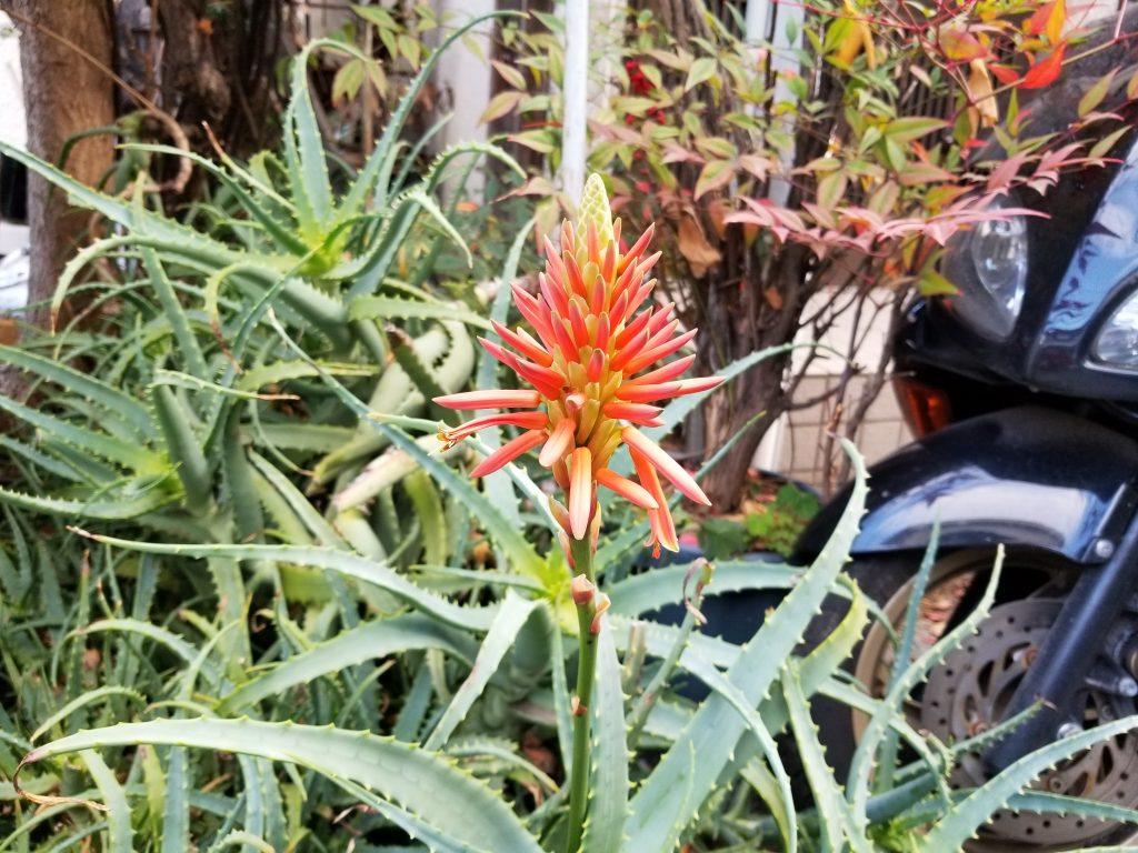 アロエの花_20200206